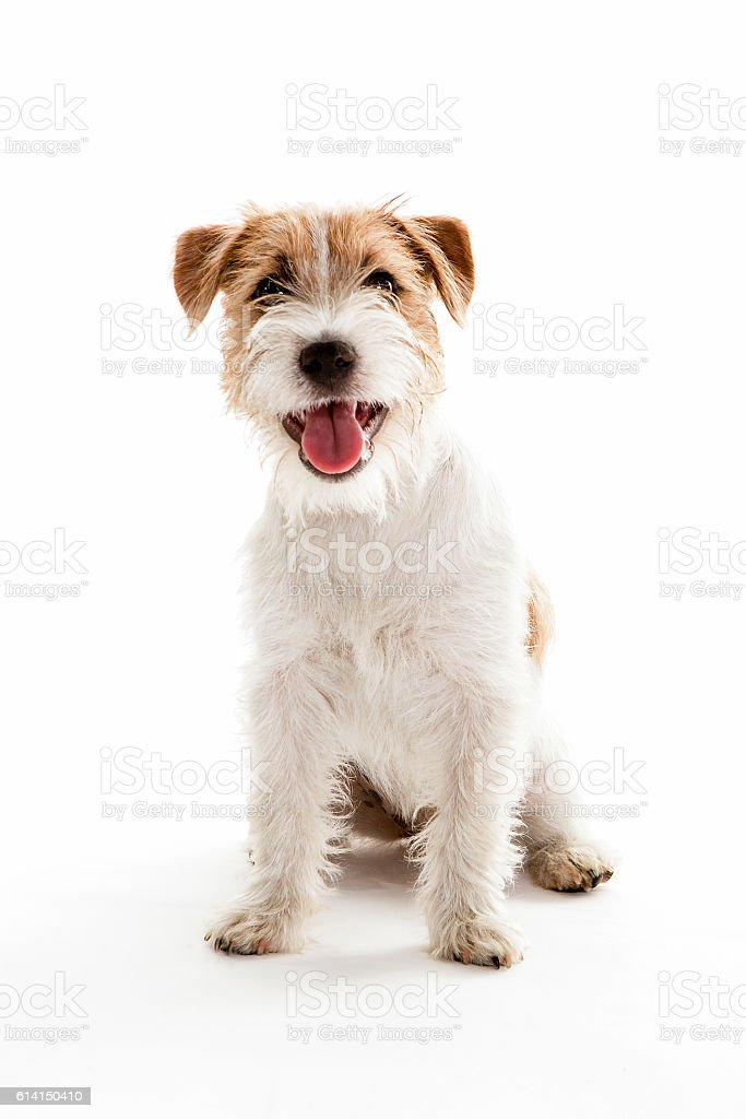 portrait of a young jack russell sitting stock photo