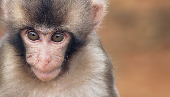 Young Japanese Macaque with copy space, perfectly usable for topics related to animal wellfare, wildlife conservation or nature in general.