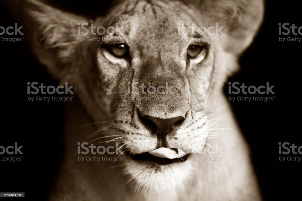 Portrait of a young lioness royalty-free stock photo