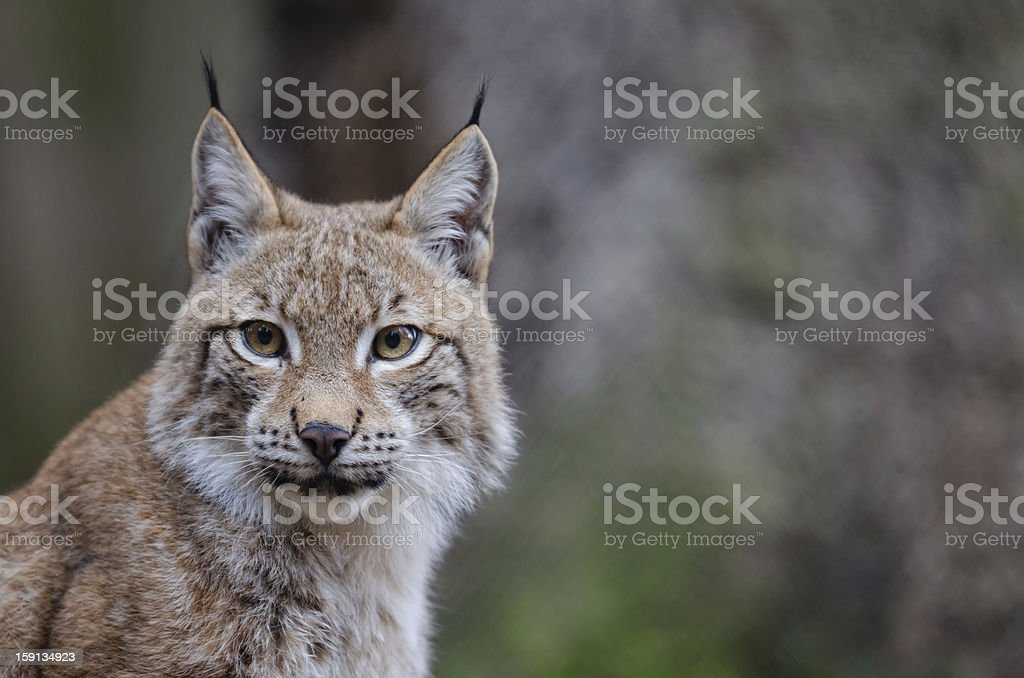 Portrait of a Young Lynx stock photo