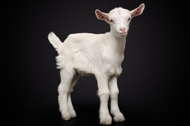 Portrait of a young white goat on black background stock photo