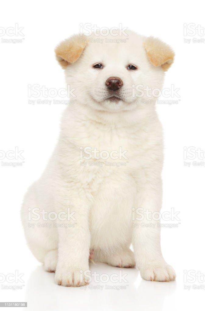 Portrait Of A Young White Japanese Akita Inu Puppy Stock Photo Download Image Now Istock