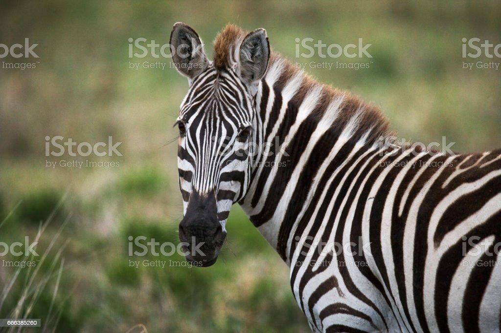 Portrait of a zebra. Close-up. Kenya. Tanzania. stock photo