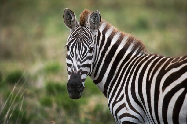 portrait of a zebra. close-up. kenya. tanzania. - zebra stock photos and pictures