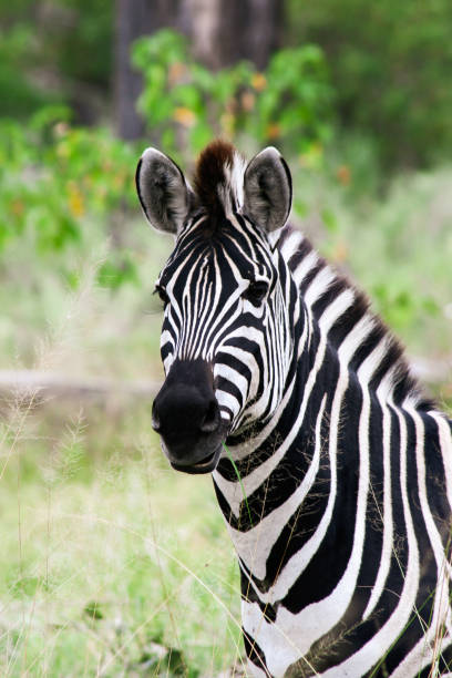 Portrait of a zebra in Moremi Game Reserve Xakanaxa in Botswana. Vertical view. stock photo