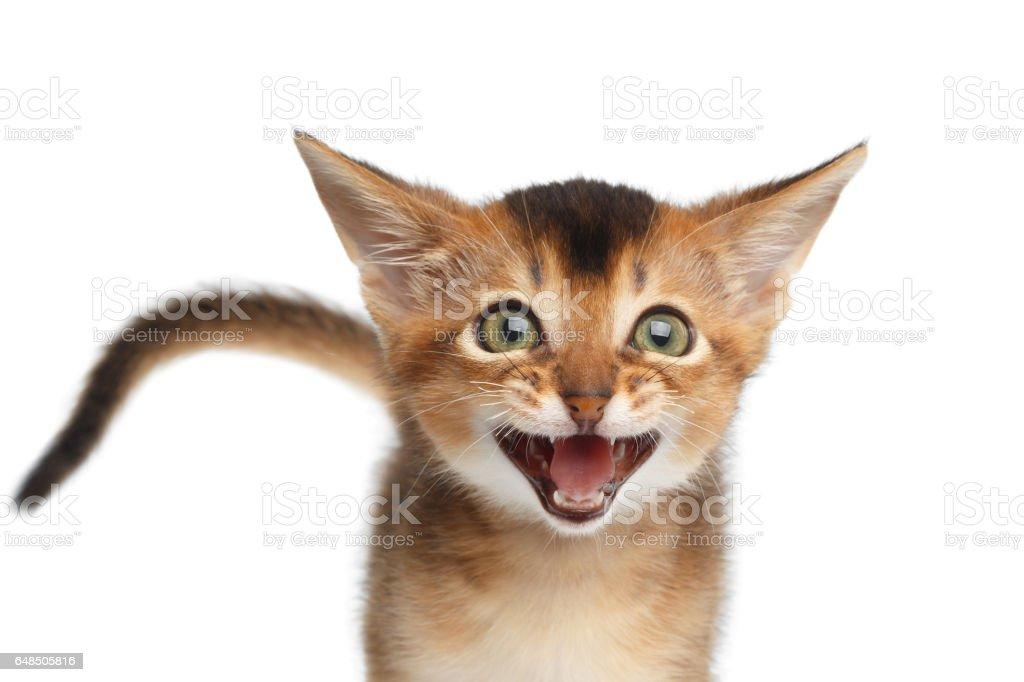 Retrato de Abyssinian gatinho no fundo branco isolado foto royalty-free