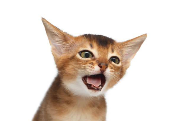 Portrait of abyssinian kitty on isolated white background picture id648506748?b=1&k=6&m=648506748&s=612x612&w=0&h=kivk0ax4uzm ka9x3xrqdnlvv9a2kjngjeue1i6hxhi=
