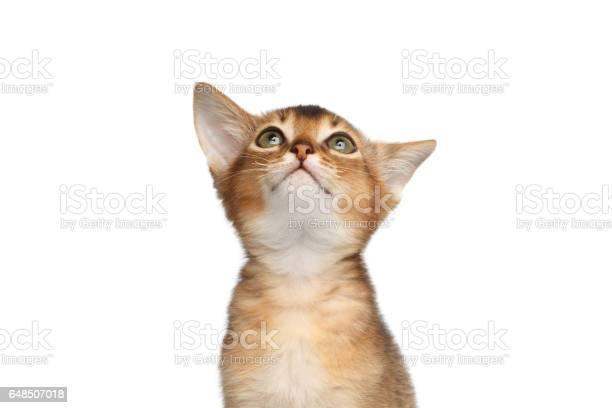 Portrait of abyssinian kitty on isolated white background picture id648507018?b=1&k=6&m=648507018&s=612x612&h=mtjmgjdzn8vdegv66m6ldabqduf fufxokhkedueniy=