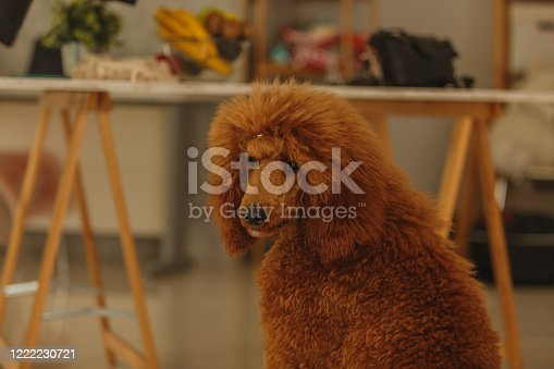 Copy space shot of cute brown poodle sitting and relaxing while looking away in the distance.