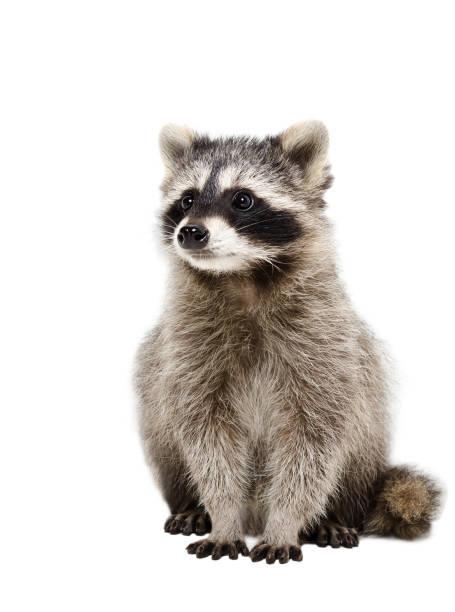 Portrait of adorable raccoon stock photo