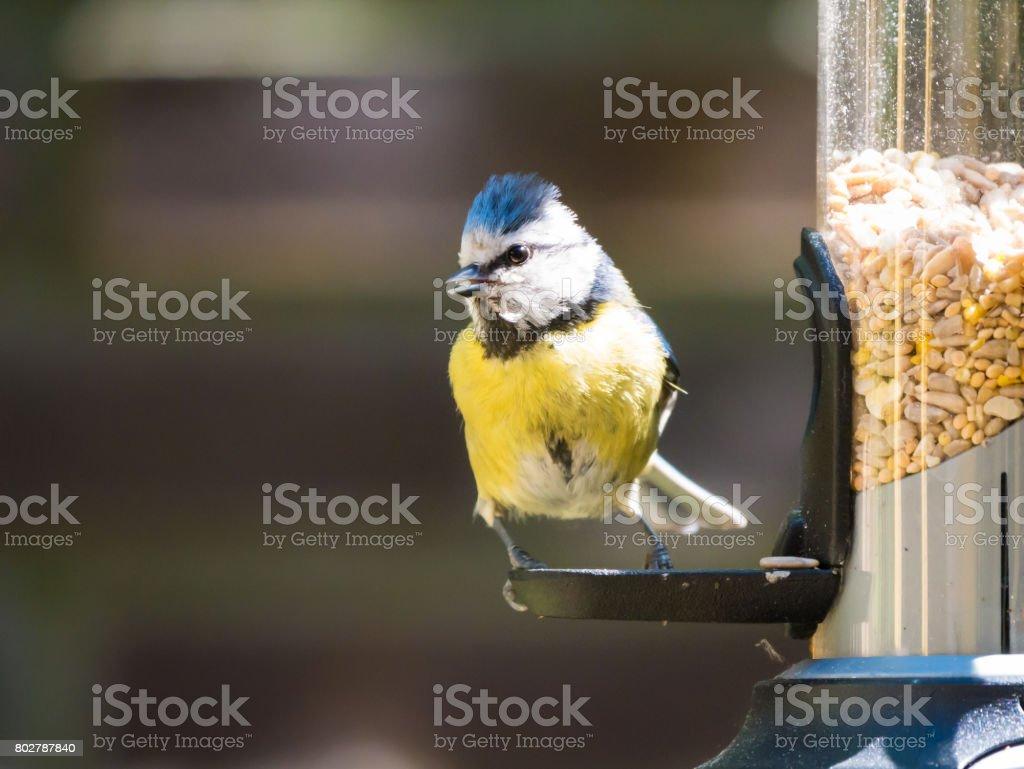 Portrait of adult blue tit on birdfeeder stock photo