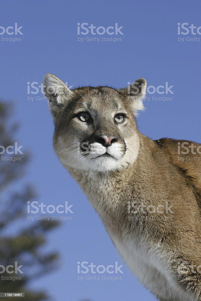 Portrait of Adult Mountain Lion royalty-free stock photo