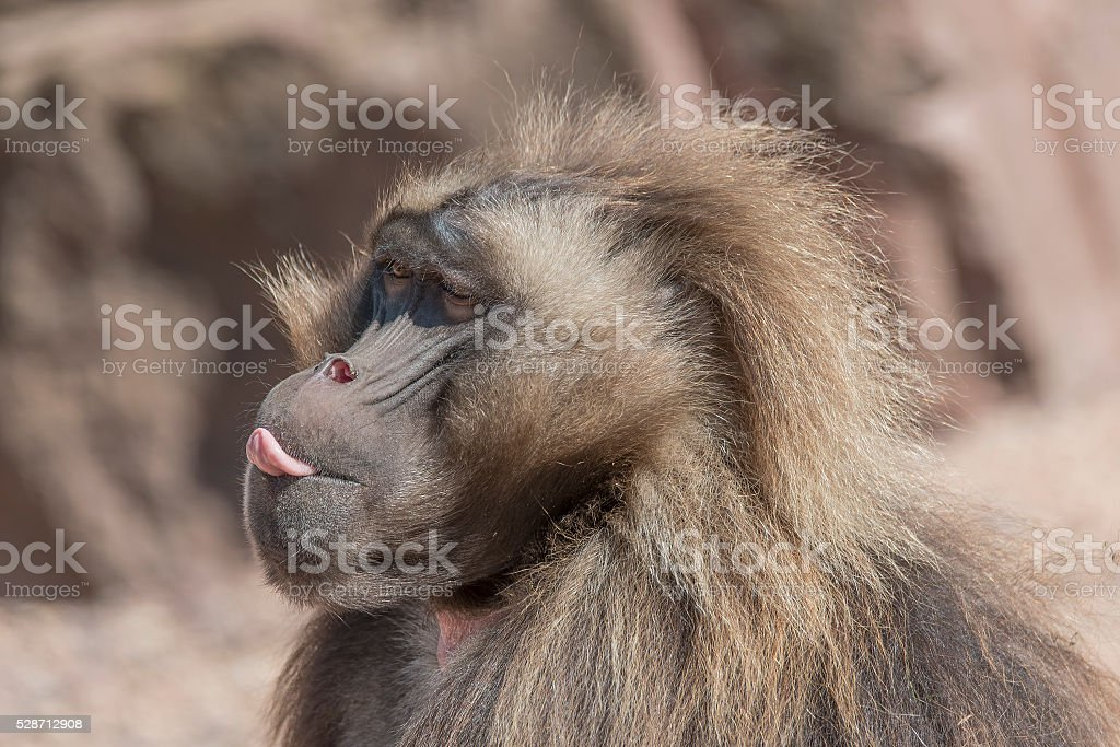 Portrait of african baboon stock photo