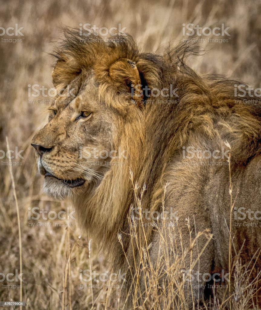 Portrait of African Male Lion stock photo