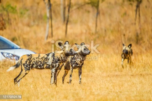 Portrait of African wild painted dog or Lycaon Pictus taken during a safari in a nature reserve in South Africa