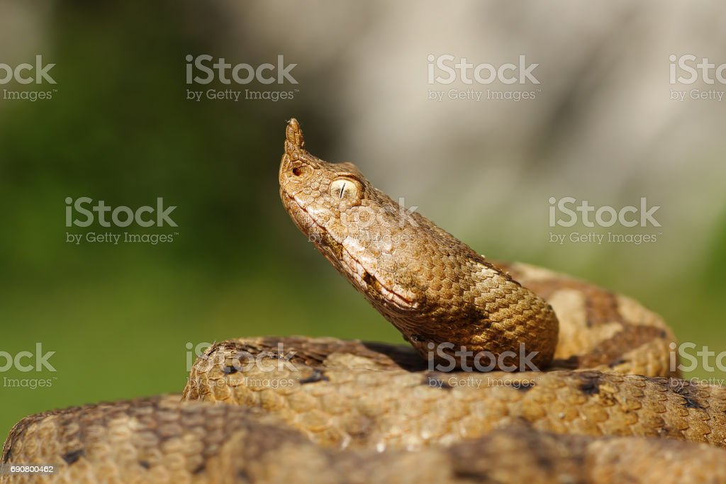 portrait of aggressive venomous snake stock photo