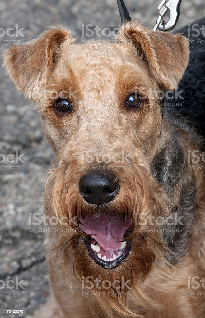 Portrait of Airedale. Dog show. stock photo