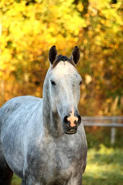 porträt von akhal-teke pferd im herbst - akhal teke stock-fotos und bilder