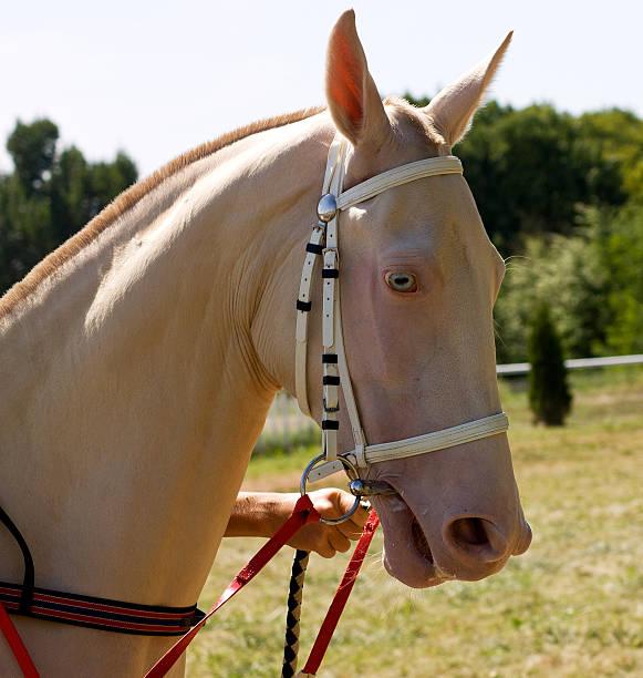 porträt von akhal-teke horse - akhal teke stock-fotos und bilder