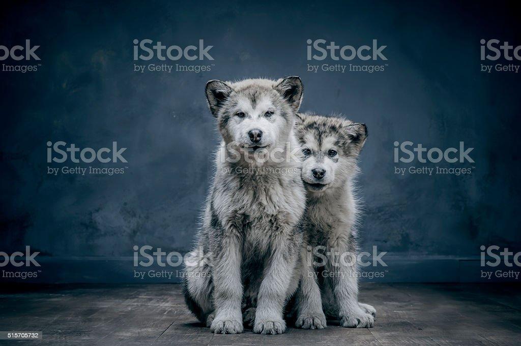 Portrait of alaskan malamute puppys closeup stock photo