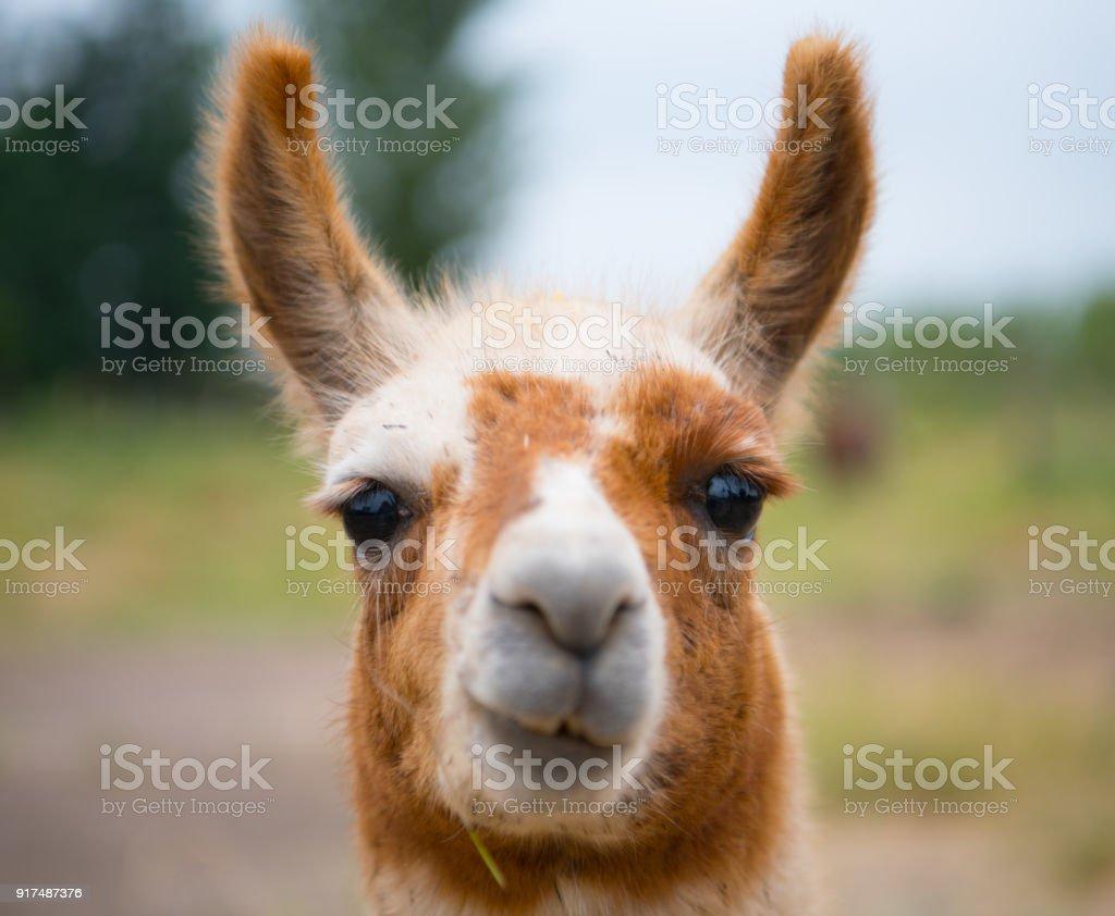 Porträt von Alpaka Lama in Chile – Foto