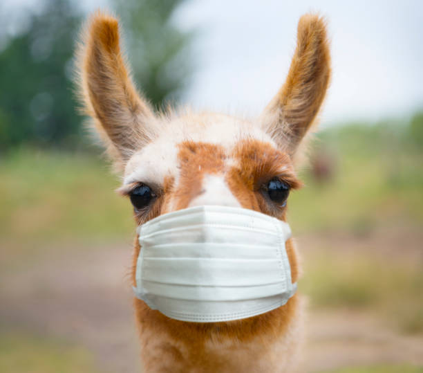 Portrait of alpaca llama in Chile, wearing protecting face mask stock photo