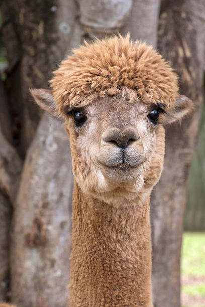 Portrait of alpaca stock photo