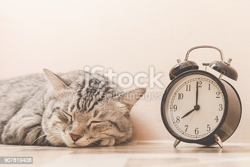 istock portrait of american shorthair cat sleeping with vintage alarm clock on the floor. lazily cat don't want to wake up early at monday morning. vintage photo and film style 907819408