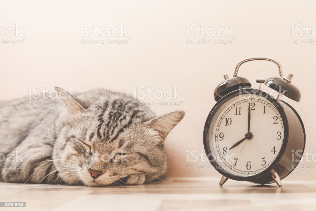 portrait of american shorthair cat sleeping with vintage alarm clock on the floor. lazily cat don't want to wake up early at monday morning. vintage photo and film style stock photo