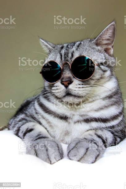 Portrait of american shorthair cat wearing sunglasses picture id833503894?b=1&k=6&m=833503894&s=612x612&h=gr9zxezosixpitkjm  h82ttlosane5znehcdfwm0hm=