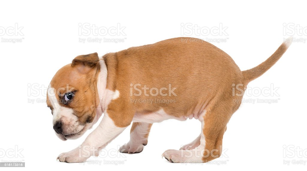 Portrait of American Staffordshire Terrier Puppy, 6 weeks old, stock photo