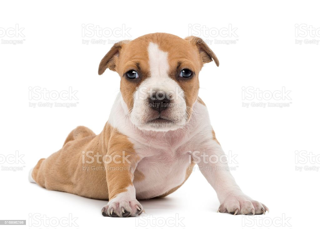 Portrait of American Staffordshire Terrier Puppy lying, 6 weeks old, stock photo