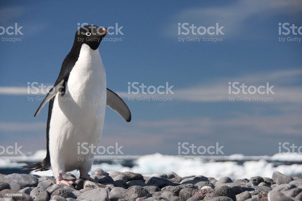 A portrait of an Adelie Penguin on Paulet Isalnd stock photo