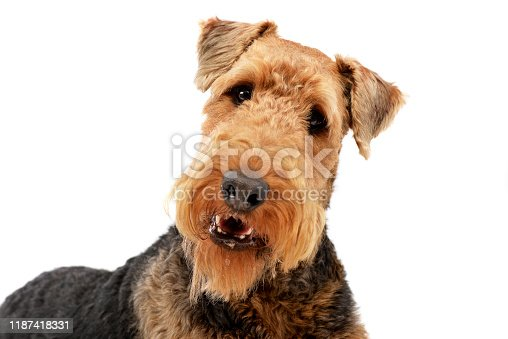 istock Portrait of an adorable Airedale terrier 1187418331