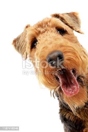 istock Portrait of an adorable Airedale terrier 1187418346