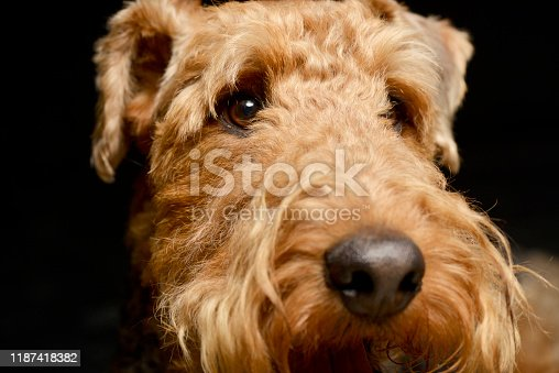 istock Portrait of an adorable Airedale terrier 1187418382