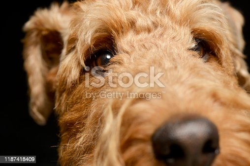 istock Portrait of an adorable Airedale terrier 1187418409