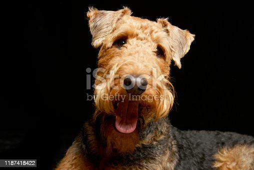 istock Portrait of an adorable Airedale terrier 1187418422
