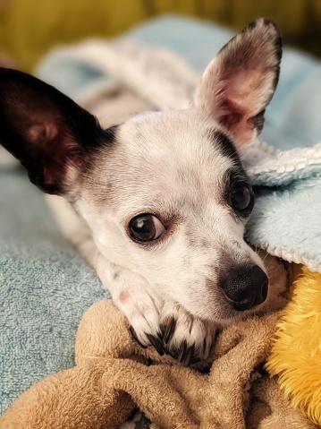 An adorable Chihuahua looking at the camera with her ears perked up