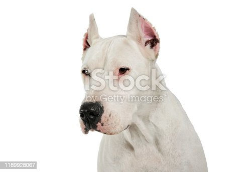 Portrait of an adorable Dogo Argentino looking down curiously - studio shot, isolated on white background.
