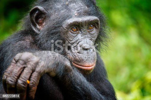 Close up shot of an adult Bonobo (Pan paniscus, Pygmy Chimpanzee) in DR Congo. This is a rare wildlife shot.