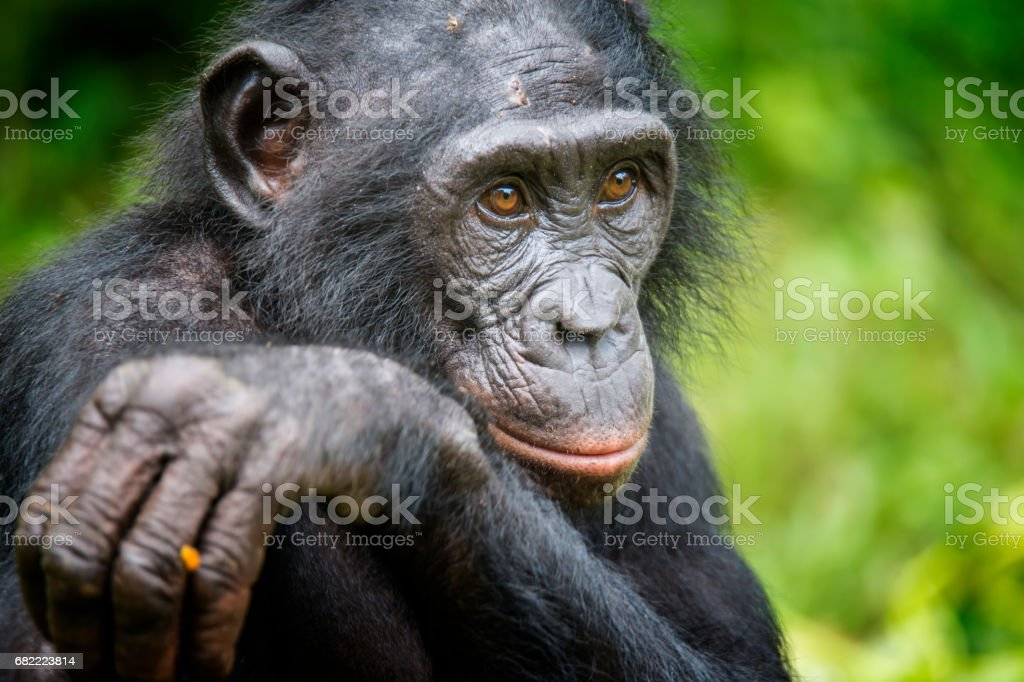 Portrait d'un adulte Bonobo (Pan paniscus, chimpanzé pygmée), faune rare tournée - Photo