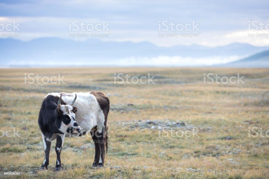 Portrait of an adult female yak in northern Mongolia. stock photo