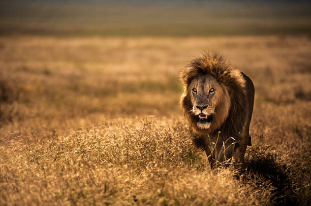 Portrait Of an adult Male Lion ARUSHA REGION, TANZANIA - JUNE 04, 2017: Adult male lion (Panthera leo) walking on the savanna in Ngorongoro crater, Tanzania, East Africa. June 04, 2017 Leo stock pictures, royalty-free photos & images