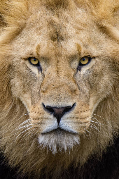 Portrait of an African lion stock photo