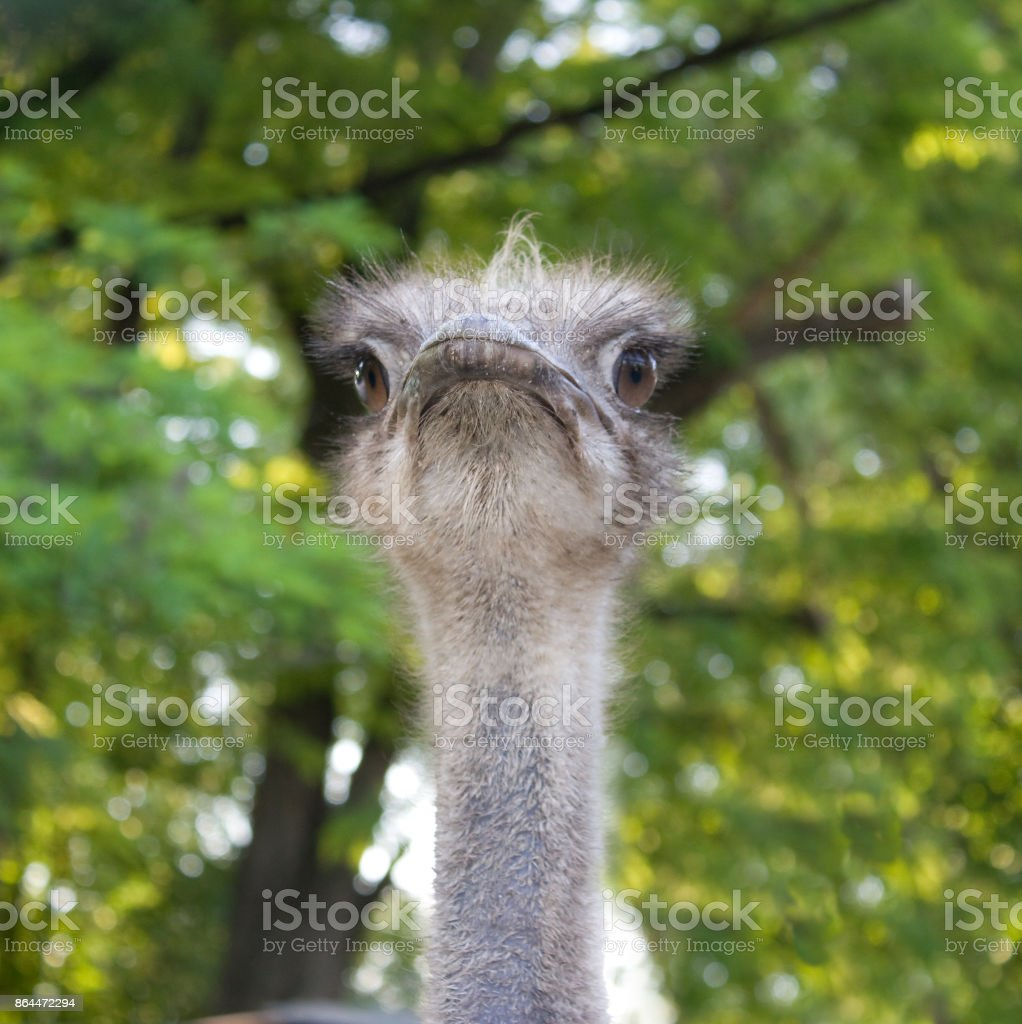 Portrait of an African ostrich on a background of green trees stock photo