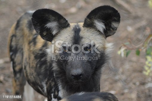 Portrait of an African wild dog in Kruger national park during ou safari drive