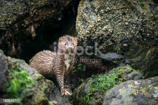 An American Mink (Mustela vison) along the Pacific Coast on a rainy day.