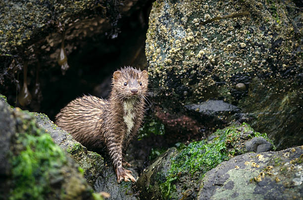 Portrait of an American Mink ((Mustela vison) in the Rain stock photo