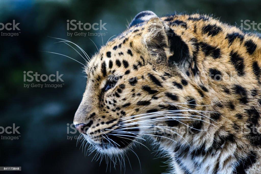 Porträt der Amur-leopard – Foto